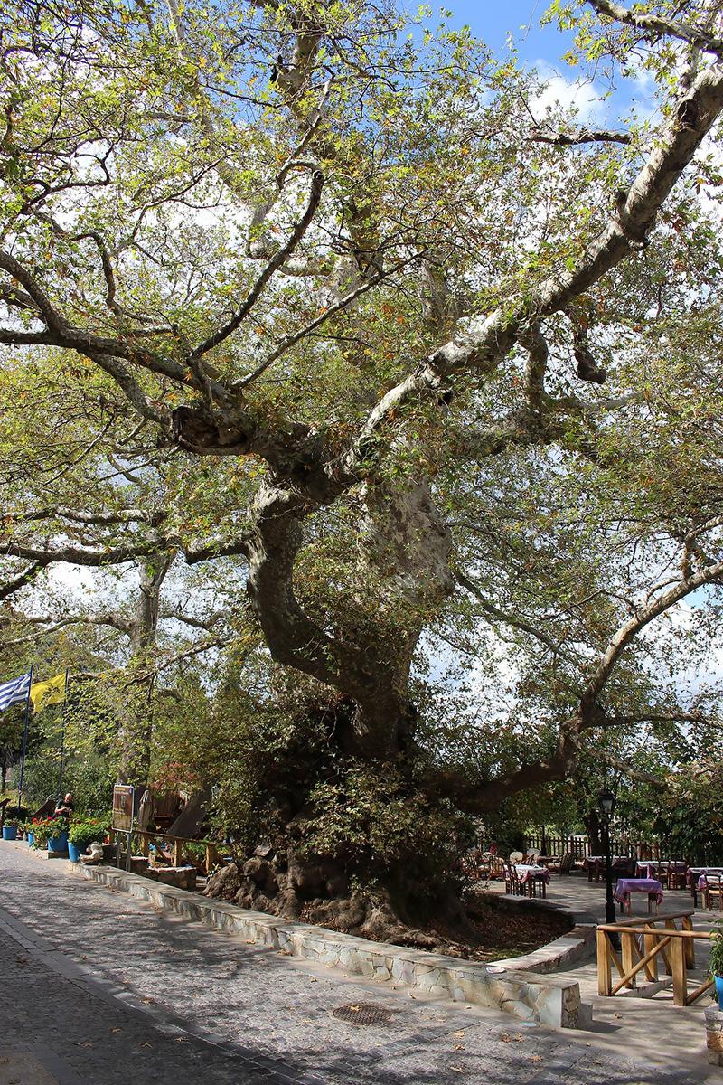 2000 year olf plane tree in krassi