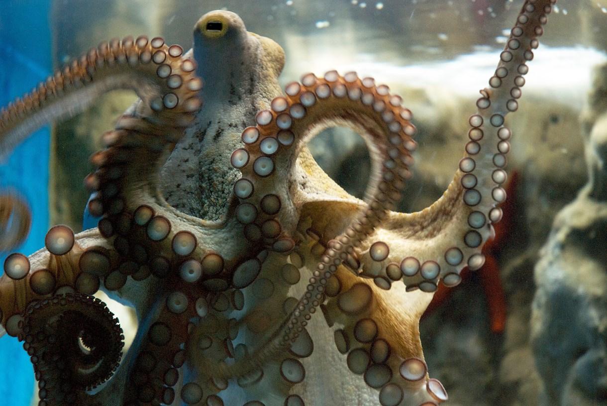 CretAquarium octopus