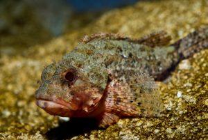 CretAquarium stone fish