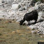 samaria-goats