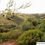 views of palekastro olive groves