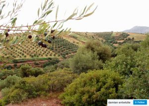 views of palekastro olive groves